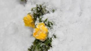 눈 쌓인 장성역에 피어난 봄의 전령사 '복수초'